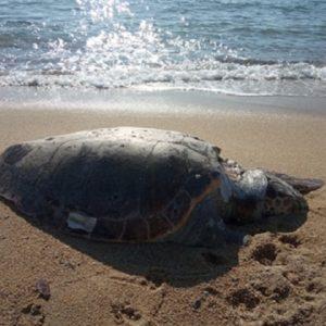Νεκρή Καρέτα καρέτα σε ακτή της Νέας Ηρακλείτσας