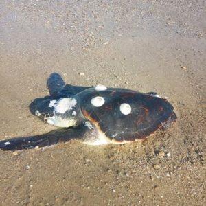 Και δεύτερη νεκρή χελώνα καρέτα καρέτα στην περιοχή του Βρασίδα